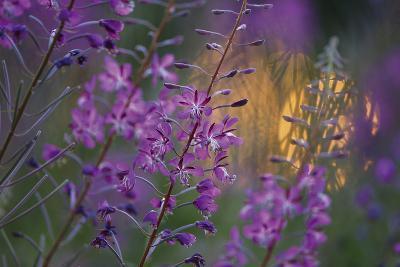 Purple Breeze-Peter Lilja-Giclee Print