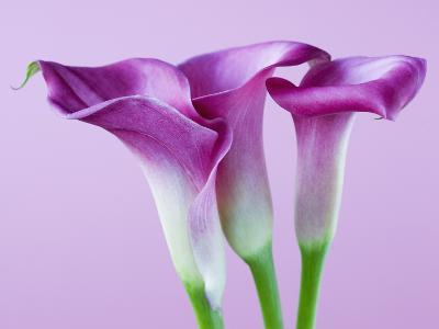 Purple Calla Lilies-Clive Nichols-Photographic Print