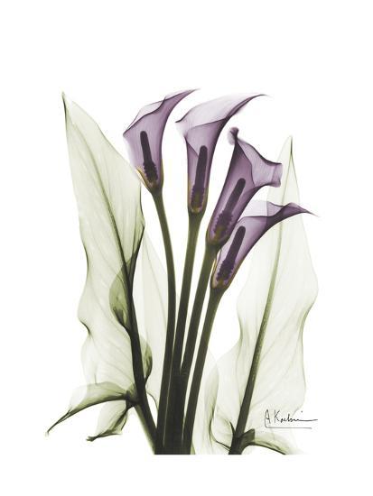 Purple Calla Lily Portrait-Albert Koetsier-Premium Giclee Print