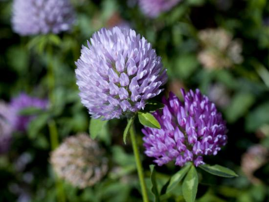 Purple Clover Flowers-David Evans-Photographic Print