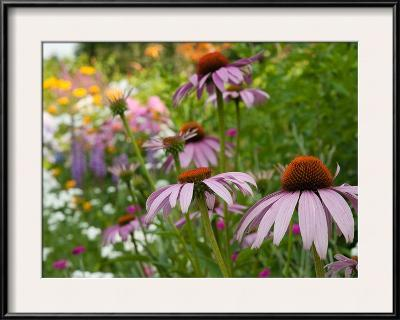 Purple Coneflower and Other Flowers in a Cape Cod Garden-Darlyne A^ Murawski-Framed Photographic Print