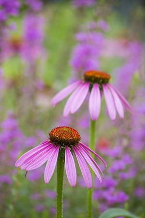 https://imgc.artprintimages.com/img/print/purple-coneflowers-marion-county-illinois_u-l-q13b8zf0.jpg?p=0