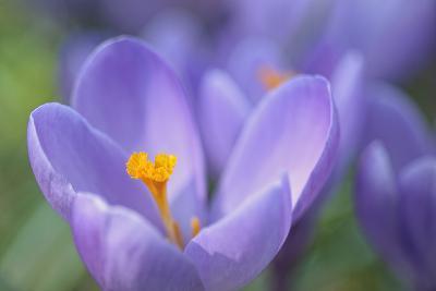 Purple Crocus-Cora Niele-Photographic Print