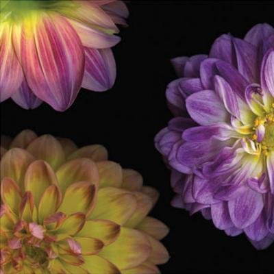 Purple Dahlia I-Pip Bloomfield-Art Print