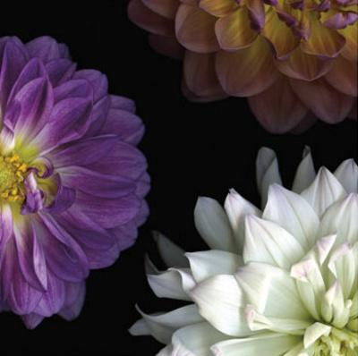 https://imgc.artprintimages.com/img/print/purple-dahlia-ii_u-l-f4j6ok0.jpg?p=0