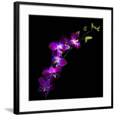 Purple Dendrobium Orchids-Magda Indigo-Framed Photographic Print