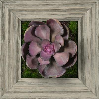 Purple Echeveria Square - Farmhouse Gray