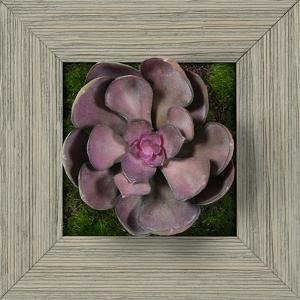 Purple Echeveria Square - Farmhouse Gray