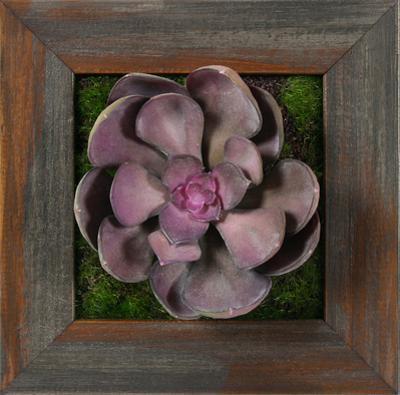 Purple Echeveria Square - Grayson Mahogany