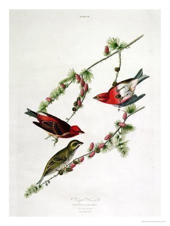 https://imgc.artprintimages.com/img/print/purple-finch-from-birds-of-america_u-l-oeczp0.jpg?artPerspective=n