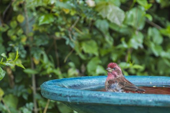 Purple Finch in a Backyard Pose Perched at the Edge of the Bird Bath-Michael Qualls-Photographic Print