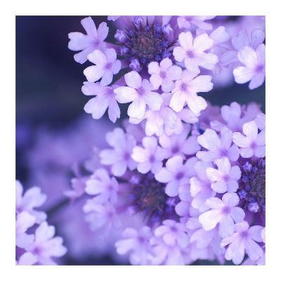 Purple Flowers-PhotoINC Studio-Art Print