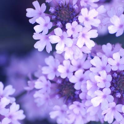 https://imgc.artprintimages.com/img/print/purple-flowers_u-l-q10w8u60.jpg?p=0