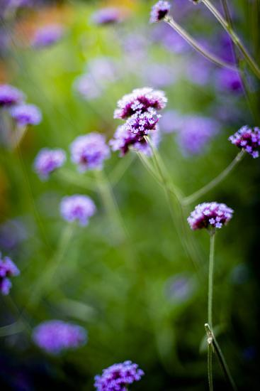 Purple Flowers-Beth Wold-Photographic Print