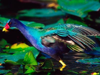 Purple Gallinule Foraging, Everglades National Park, Florida, USA-Charles Sleicher-Photographic Print