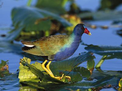 Purple Gallinule (Porphyrio Martinicus) Standing on Lily Pads, Everglades Nat'l Park, Florida-Tom Vezo/Minden Pictures-Photographic Print