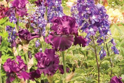 Purple Garden I-Maureen Love-Photographic Print