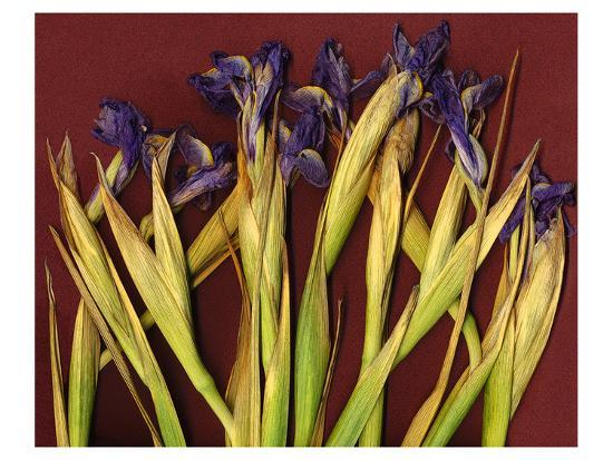 Purple Garden Irises--Art Print