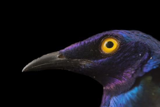 Purple glossy starlings, Lamprotornis purpureus, at the Topeka Zoo.-Joel Sartore-Photographic Print