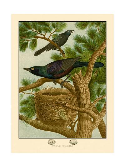 Purple Grackle--Art Print