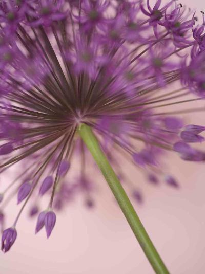 Purple Haze 5-Doug Chinnery-Photographic Print