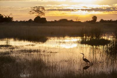 Purple Heron (Ardea Purpurea) Fishing at Sunset-Neil Aldridge-Photographic Print