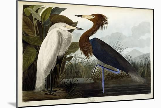 Purple Heron, C.1835-John James Audubon-Mounted Premium Giclee Print
