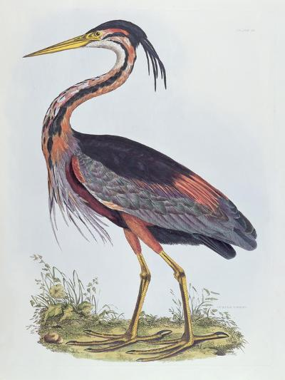 Purple Heron, from 'Illustration of British Ornithology'-Prideaux John Selby-Giclee Print