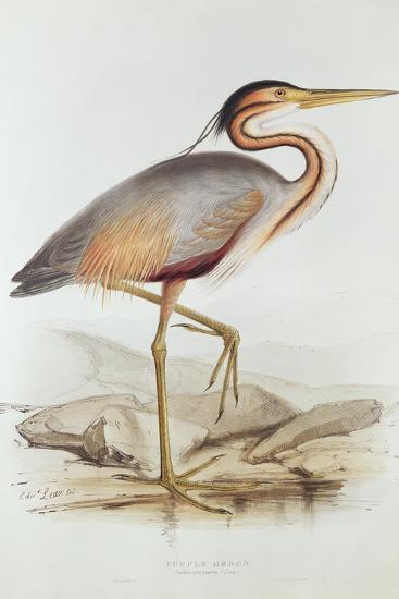 Purple Heron-Edward Lear-Giclee Print