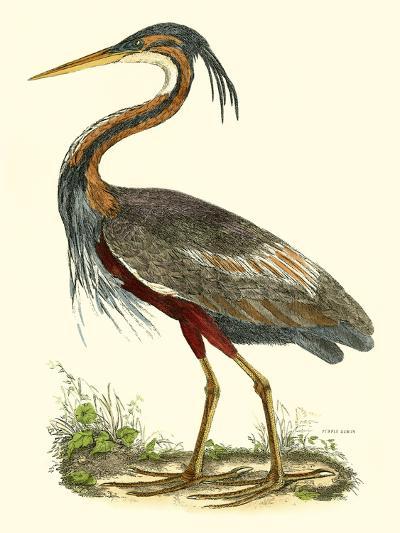 Purple Heron-John Selby-Art Print