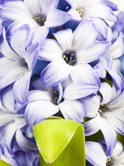 Purple hyacinth-Frank Lukasseck-Photographic Print