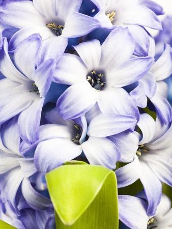 https://imgc.artprintimages.com/img/print/purple-hyacinth_u-l-pzl7gi0.jpg?p=0
