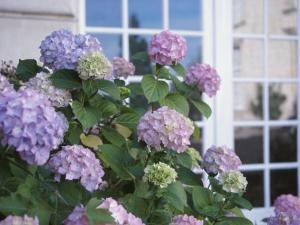 Purple Hydrangeas Blossoming by Window of Cottage