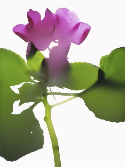 Purple Impatiens-Envision-Photographic Print