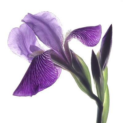 https://imgc.artprintimages.com/img/print/purple-iris-iii_u-l-q11uleg0.jpg?p=0