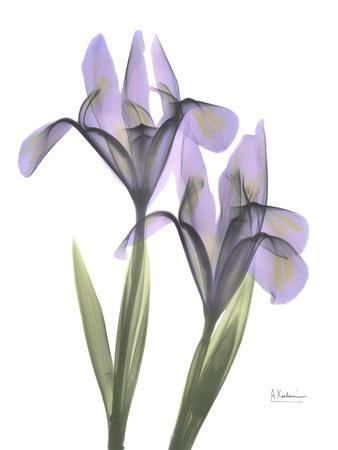 https://imgc.artprintimages.com/img/print/purple-iris_u-l-f548ap0.jpg?p=0