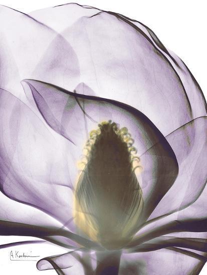 Purple Magnolia A43-Albert Koetsier-Art Print