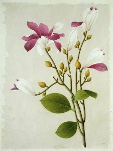 Purple Magnolia, c.1800-40