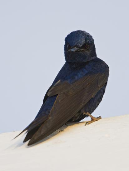 Purple Martin (Progne Subis) Perched on a Nesting Box, Ontario, Canada-Glenn Bartley-Photographic Print