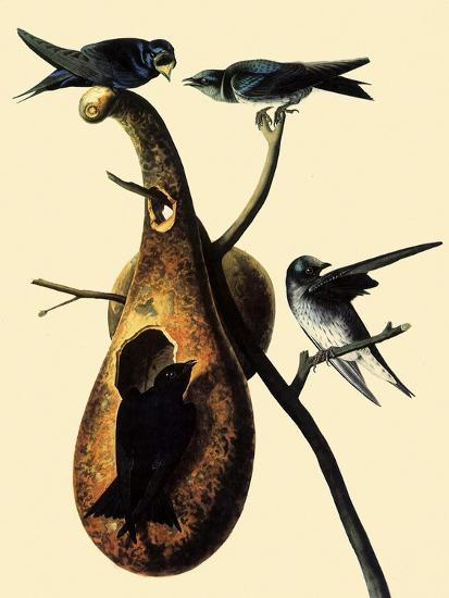 Purple Martins-John James Audubon-Giclee Print