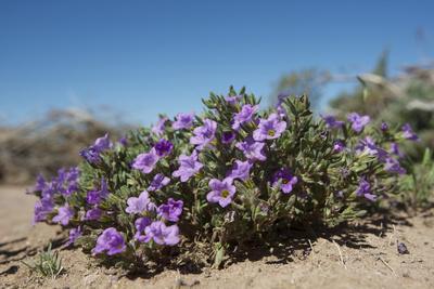 https://imgc.artprintimages.com/img/print/purple-mat-an-attractive-desert-flower-found-in-organ-pipe-cactus-nm_u-l-pu3cb40.jpg?p=0