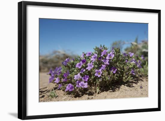 Purple Mat an Attractive Desert Flower Found in Organ Pipe Cactus Nm-Richard Wright-Framed Photographic Print