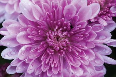 Purple Mum II-Erin Berzel-Photographic Print