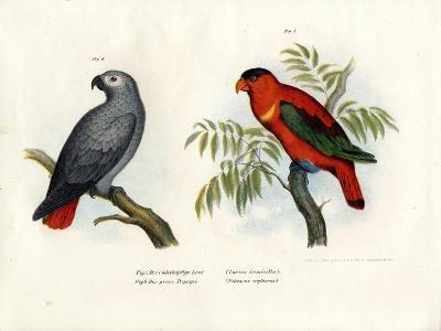 Purple-Naped Lory, 1864--Giclee Print