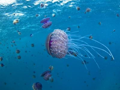 Purple Ocean Jelly Fish, Ras Banas, Red Sea-Mark Webster-Photographic Print