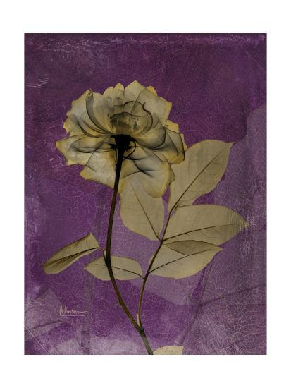 Purple Opus Rose-Albert Koetsier-Premium Giclee Print