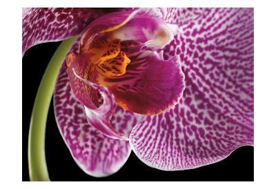 Purple Orchid 2-Barry Seidman-Art Print