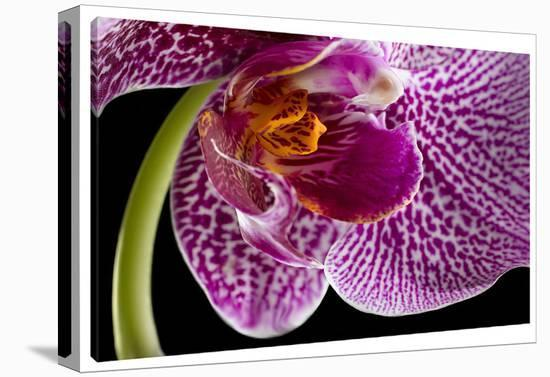 Purple Orchid 2-Barry Seidman-Gallery Wrapped Canvas