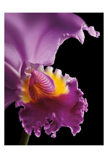 Purple Orchid-Barry Seidman-Art Print