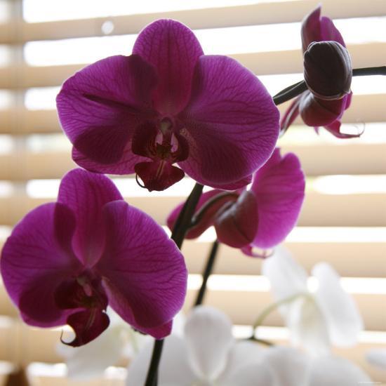 Purple Orchids I-Nicole Katano-Photo